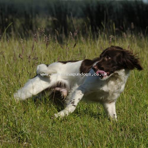 English Springer Spaniel Stud dogs and Males - Arduinna Gundogs